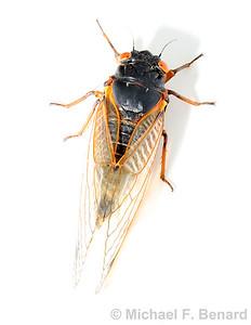 Pharaoh cicada (Magicicada septendecim)