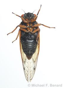 Underside of male Dwarf Periodical Cicada