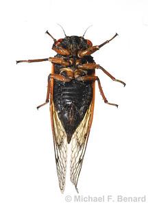 Underside of Female Dwarf Periodical Cicada