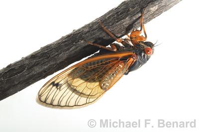 Dwarf periodical cicada (Magicicada cassini)