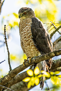 Coopers Hawk - Mt. Auburn