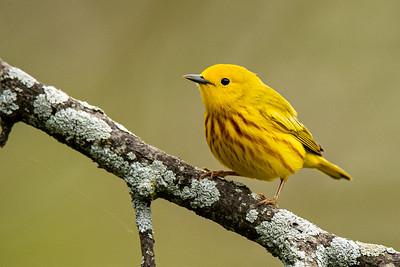 Yellow  Warbler - Meadowbrook Arlington