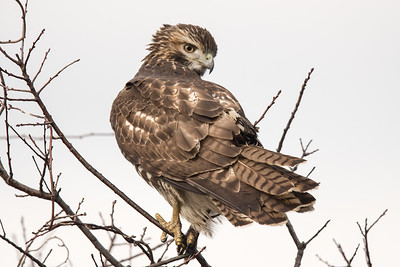 Red-tailed Hawk - Parker River