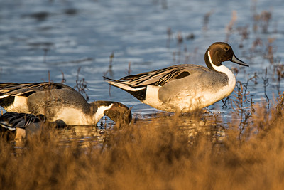 Pintails at Parker River