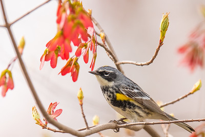 Yellow rumped Warbler - Arlington Reservoir