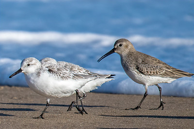 Shorebirds at Parker Rivre