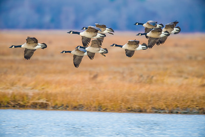 Flying Geese at Parker River