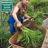 "Marie, transferring spoils from the morning's community ""divide"" into the transplant nursery,  to be shared among the community gardeners."