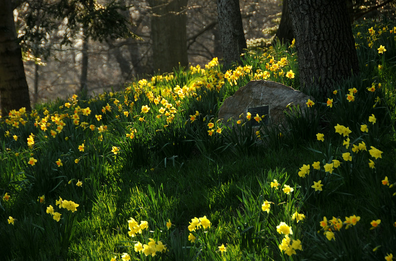 Daffodil Hill Shadows