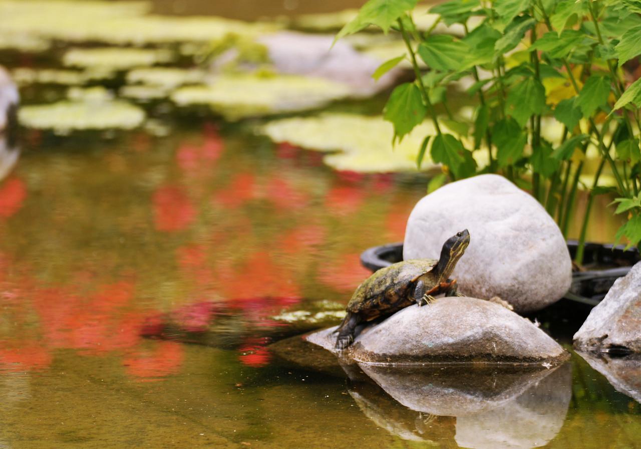 Rose Pond Turtle