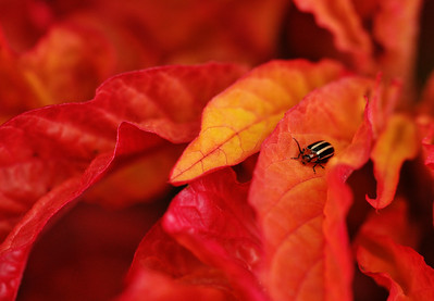 Beetle On Bloodleaf