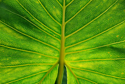 Leaf Illuminated