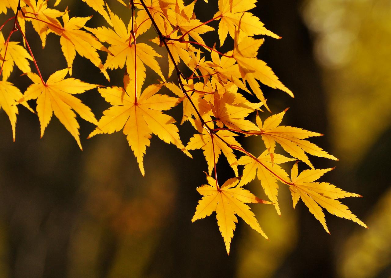 Yellow Japanese Maple