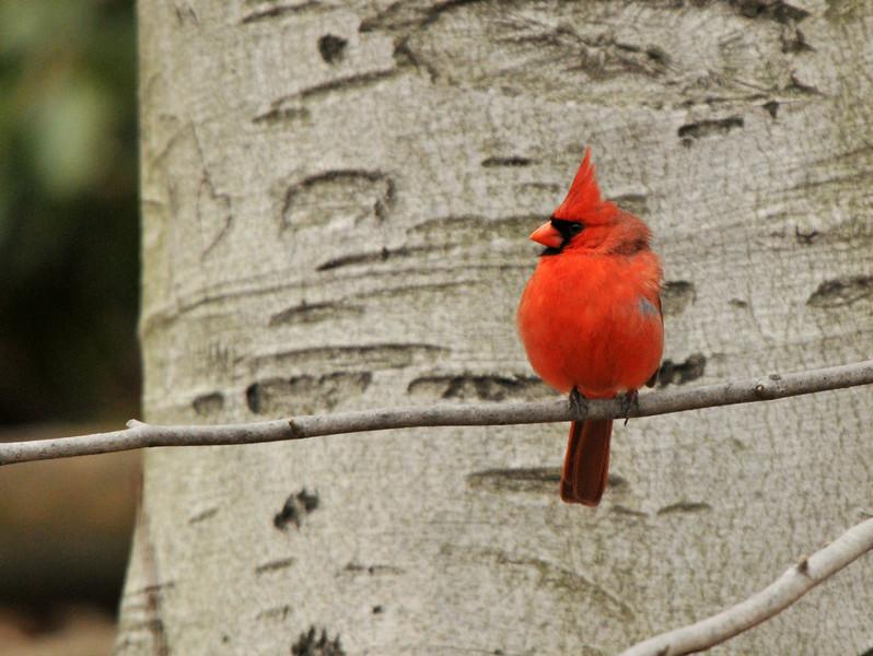 Cardinal On Beech Tree
