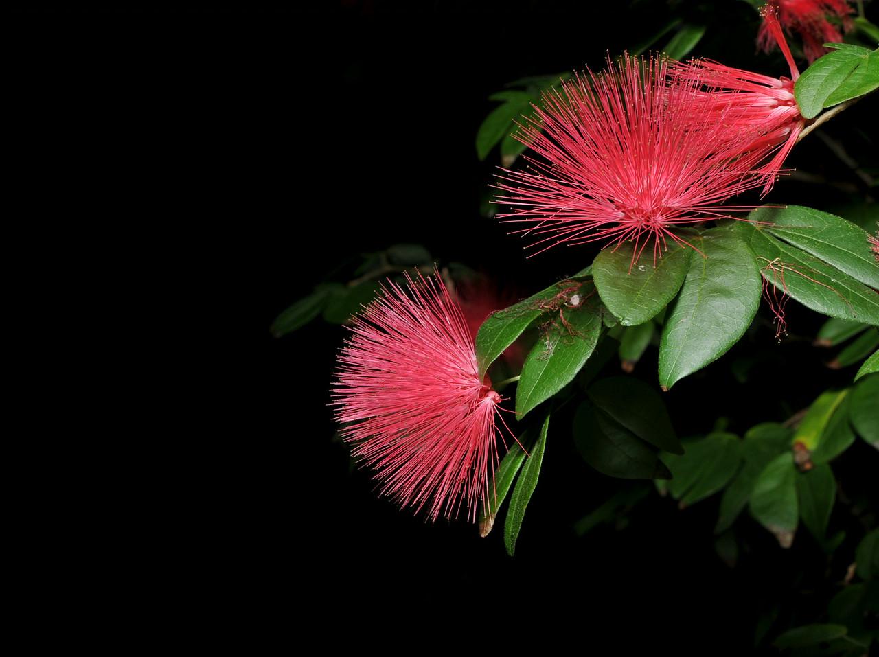 Pink Powder Puff Flowers