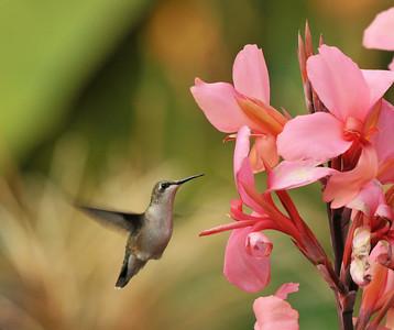 Hummingbird At Canna Lily