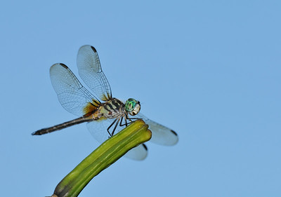 Blue Dasher Above