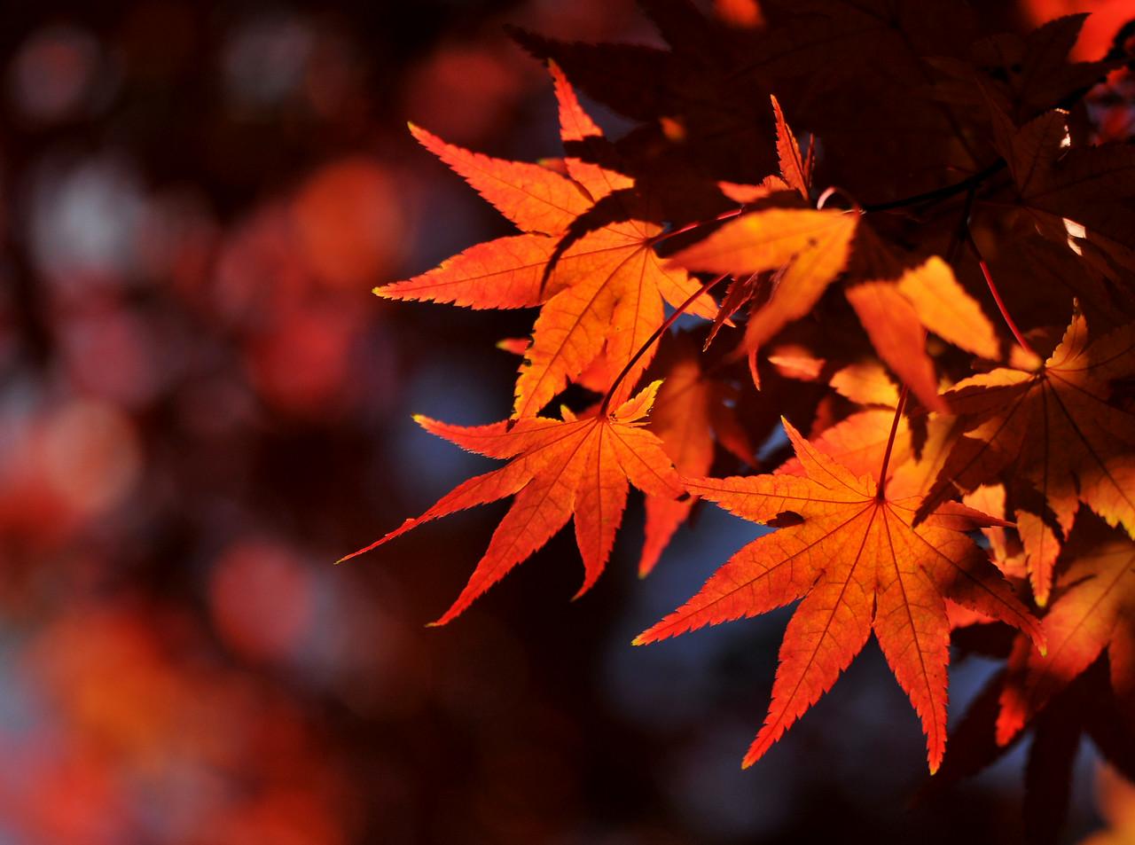 Japanese Maple Illuminated