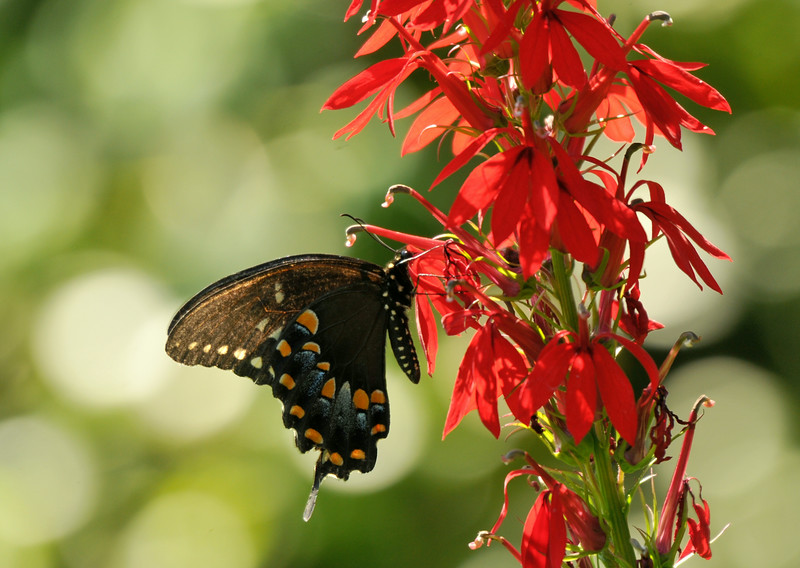 Black Swallowtail At Cardinal Flower