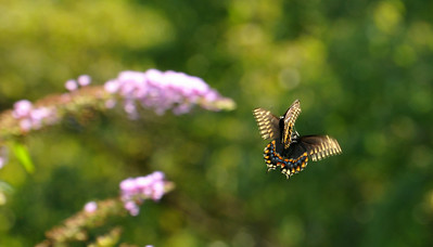 Black Swallowtail Couple