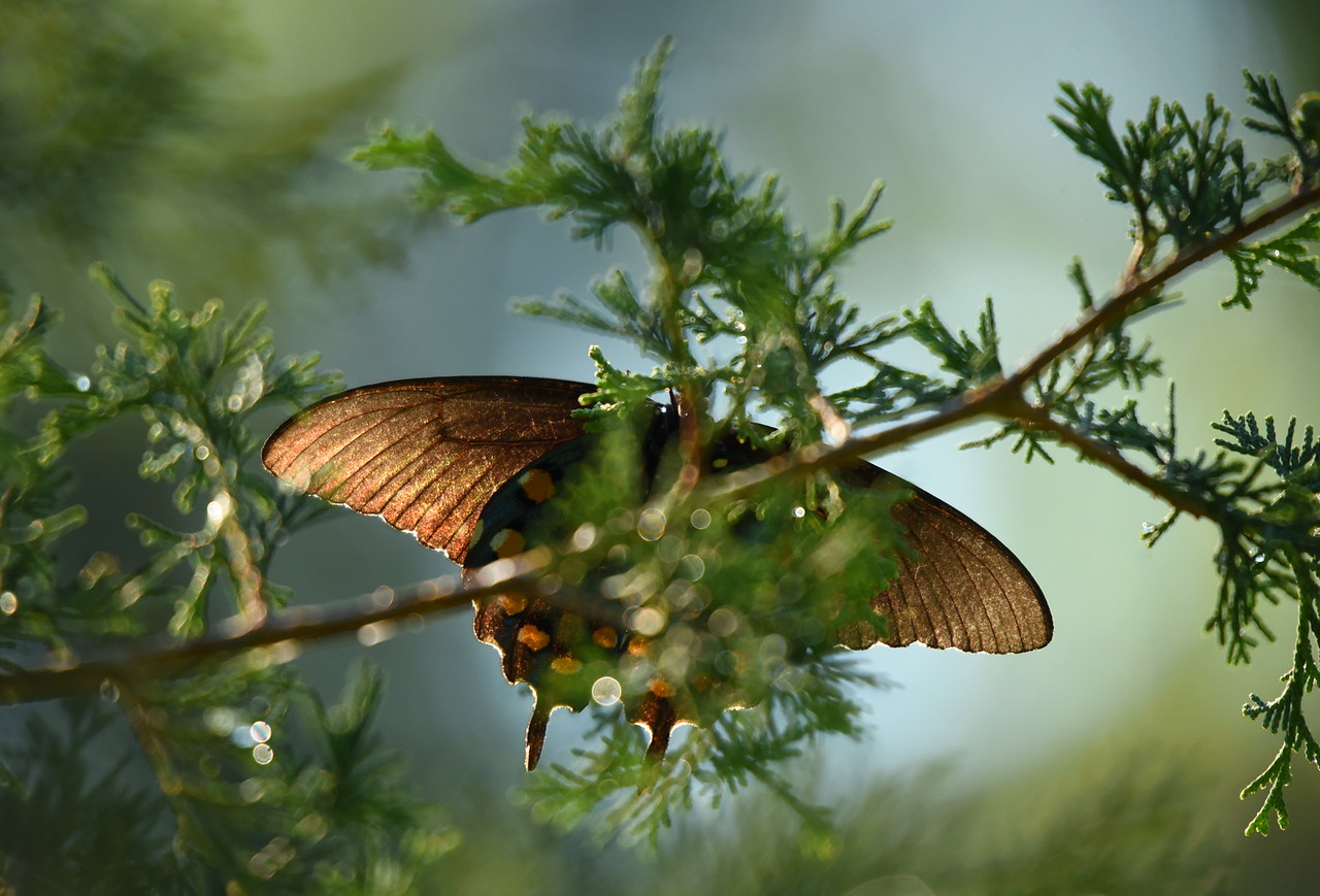 Pipevine Swallowtail Backlit