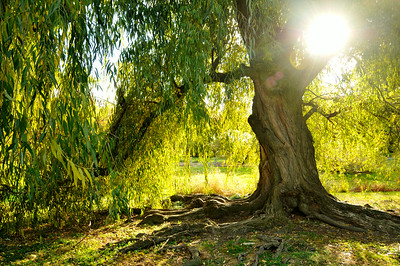 Willow Light