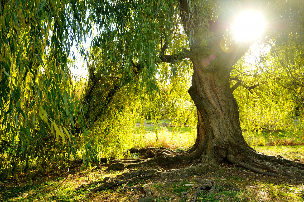 Willow Light