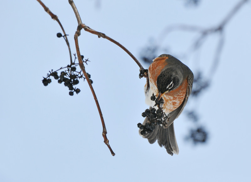 Robin Eating Corktree Berries