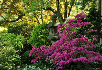 Japanese Garden Azaleas