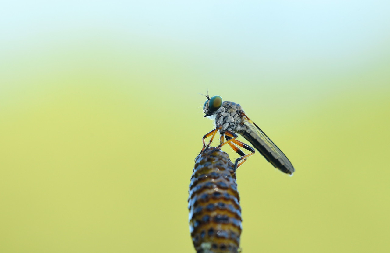Robber Fly On Horsetail