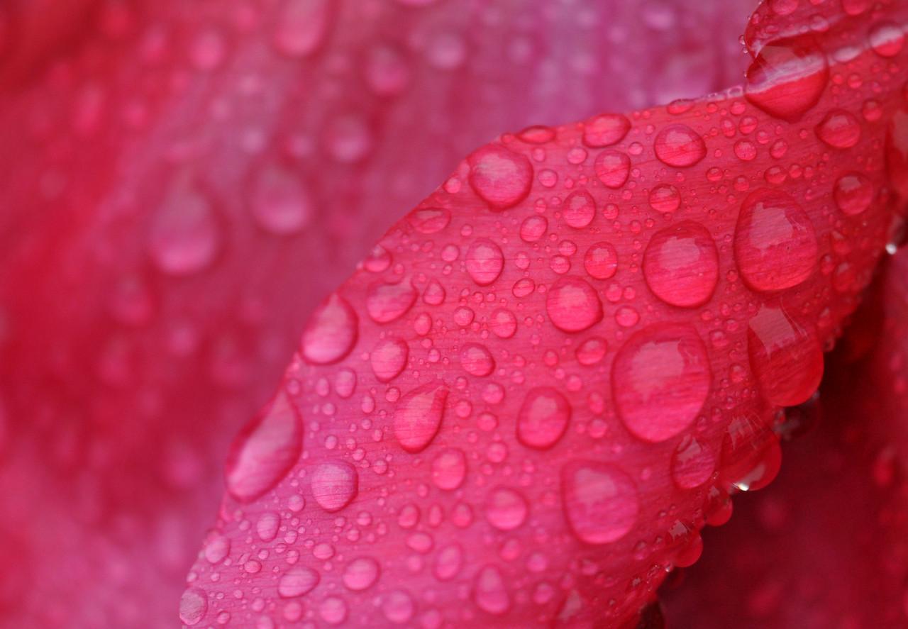 Peony Raindrops