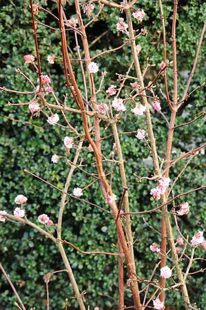 Viburnum against hedge