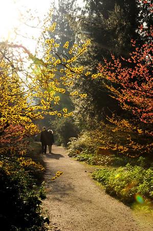 Witch Hazel, viburnum, sweet box - woodland