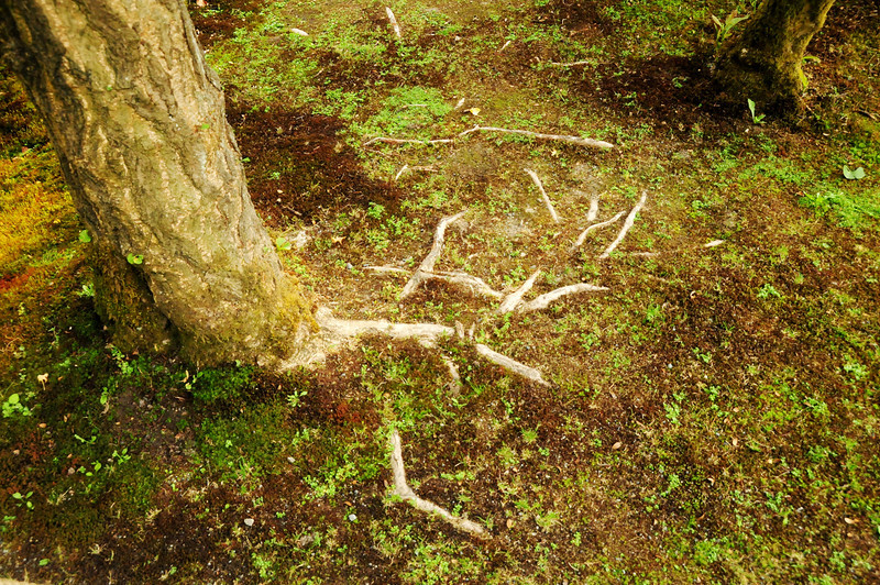 Tree roots in soil - Japanese Garden