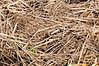 Straw mulch -Tilth