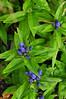 Gentian -UW medicinal herb garden