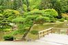Japanese Red Pine - Japanese Garden