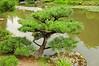 Shore Pine - Japanese Garden
