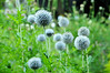 Globe Thistle - UW medicinal herb garden