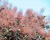 Smoke bush - Bellevue Botanical Garden