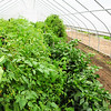 """""""Tomatoes or other vegetables being grown in a greenhouse: """"Growing Home"""" urban farm in Chicago's South Side.  More info is here:<br />  <a href=""""http://www.growinghomeinc.org/"""">http://www.growinghomeinc.org/</a>"""