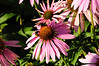 Coneflowers with bees -Bradner Gardens