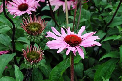 Plant list - Herbaceous Perennials