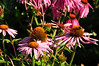 Coneflowers with bees - Bradner Gardens