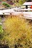 Plant #53 cornus sericea