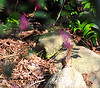 """""""Chipmunk"""" at Seward Park native plant garden.  Mahonia Nervosa is in picture."""