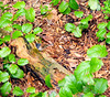Oregon junco on log, surrounded by salal (plant #155)