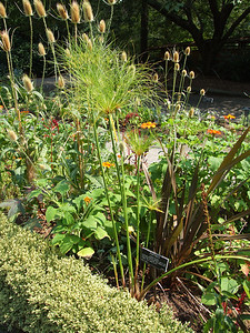 The plant in the center is papyrus, of all things, Cyperus papyrus.    This of course is the plant that the Egyptians anciently used for writing.  The heads on the upper left belong to Fuller's Teasel, regarding which see next.