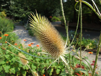 Detail of the teasel head.