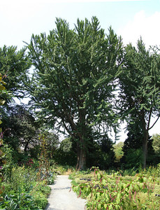 One of the magnificent ginkgo trees (Ginkgo biloba) standing along the north side of the Herb Garden.